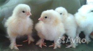 Цыплята палевая брама купить на Зозу.ру - фотография № 3
