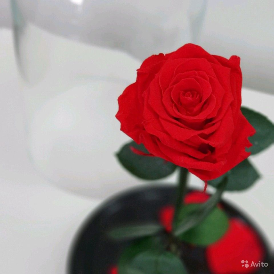 Живая роза под стеклом купить на Зозу.ру - фотография № 1