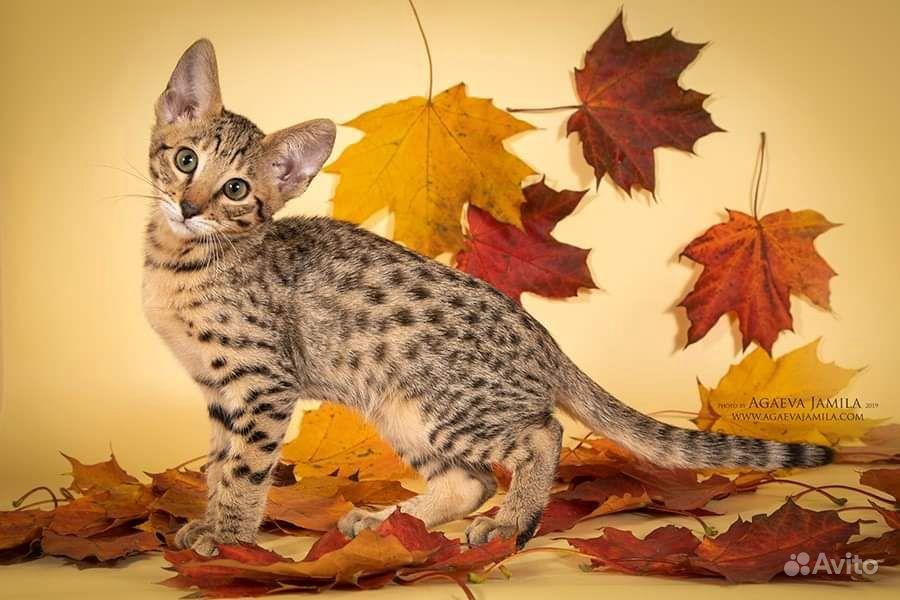 Котята саванна ф4 - фотография № 5
