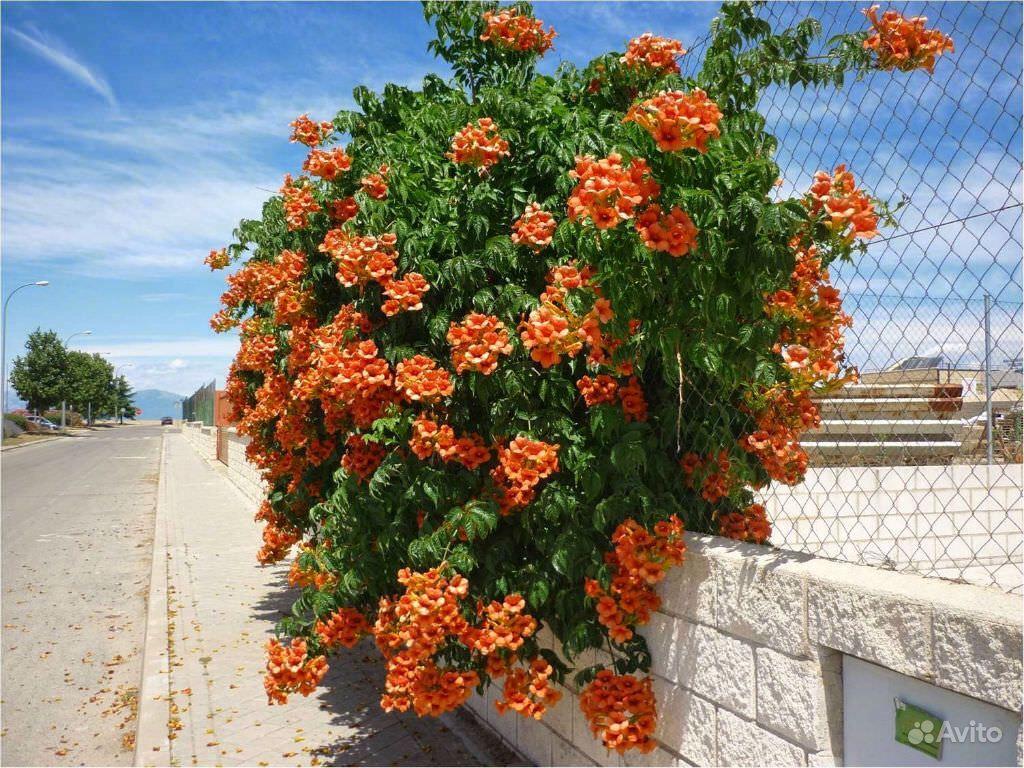 Кампсис леана вьющиеся растения штамб купить на Зозу.ру - фотография № 1