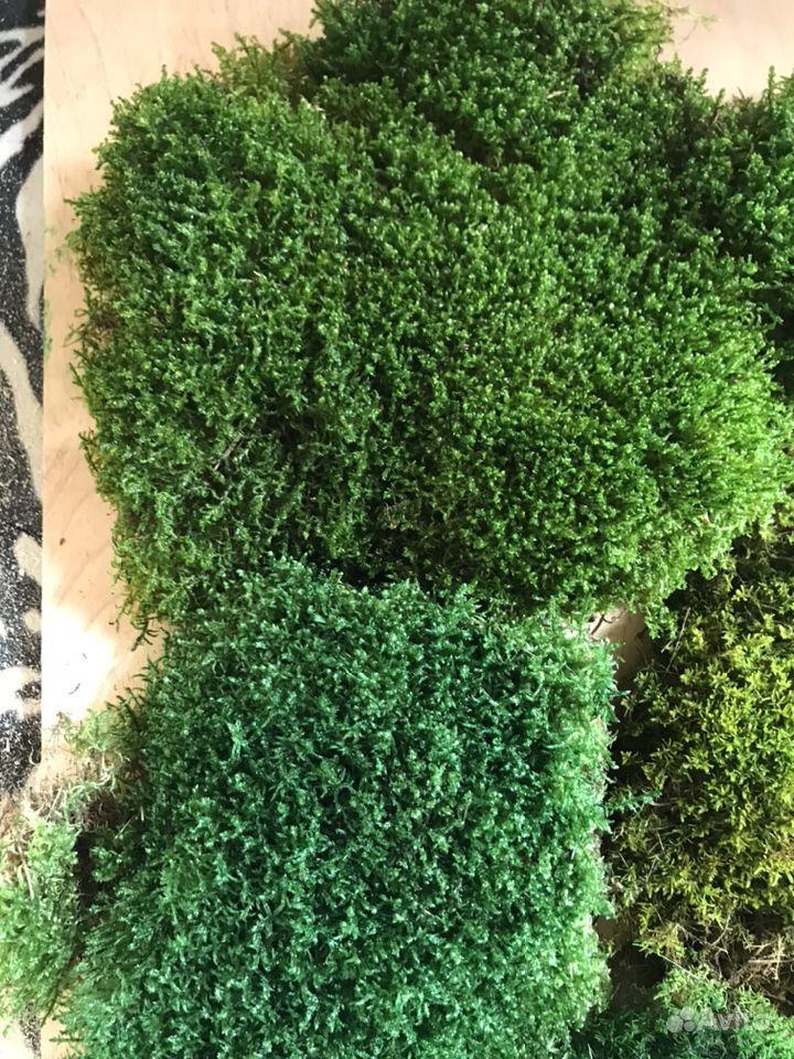 Стабилизированный мох пластовой (толстый) купить на Зозу.ру - фотография № 2