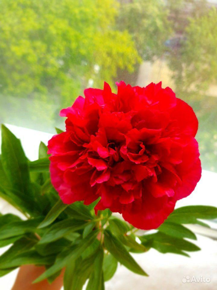 Цветы садовые купить на Зозу.ру - фотография № 2