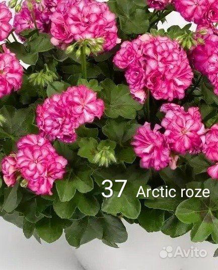 Пеларгония герань купить на Зозу.ру - фотография № 2