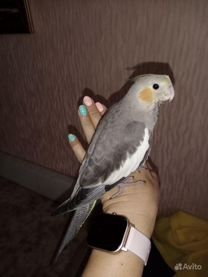 Попугай корелла купить на Зозу.ру - фотография № 1