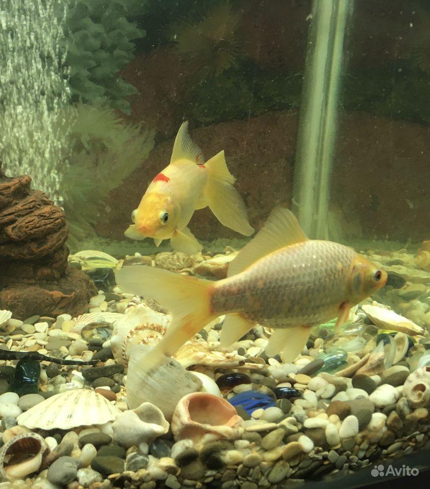 Рыбки Карпы Кои купить на Зозу.ру - фотография № 3