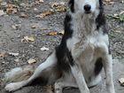 Метис Колли, обалденная собака