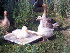 Гуси,утки, обмен на индюшат индюшку