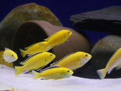 Аквариумные рыбки еллоу