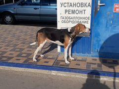 Русская лягавая