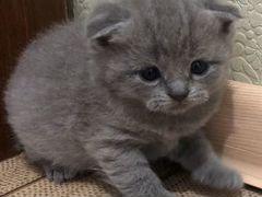 Шотландские котята голубого и лилового окраса