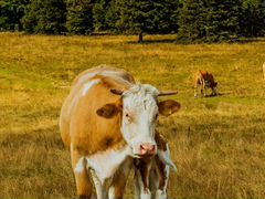 Корова и жеребёнок 9 мес