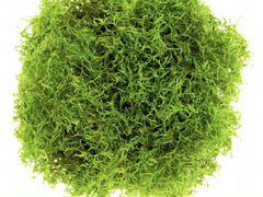 Аквариумное растение Риччия