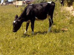 Телочка от удойной коровки