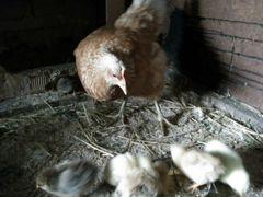 Несушка с 7 цыплятами