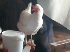 Цыпленок- бролерный