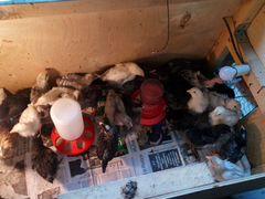 Цыплята месячные