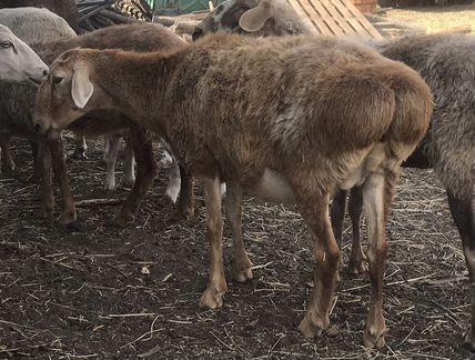 Матки гиссарской породы овец