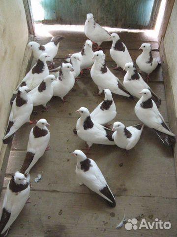 Бакинские бойные голуби от заводчика