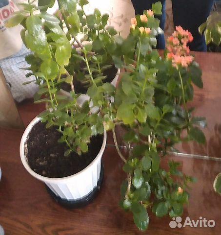 Комнатные цветы эпифиллум ые должны быть в каждом доме