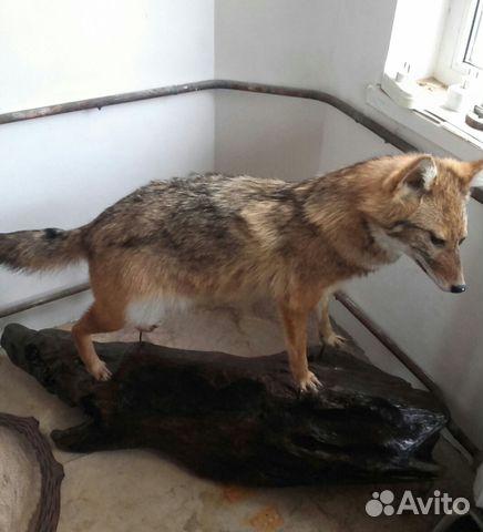 a2eafbd1397fa Продаю чучела диких животных купить в Краснодарском крае на Avito ...