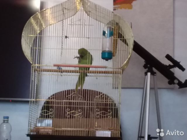 Ожереловый попугай 89044626339 купить 1