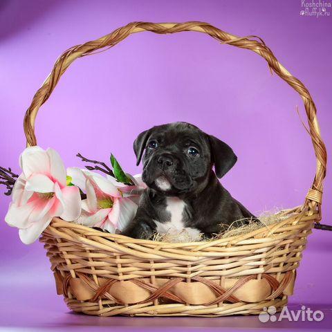 Американского Булли щенки купить на Зозу.ру - фотография № 1