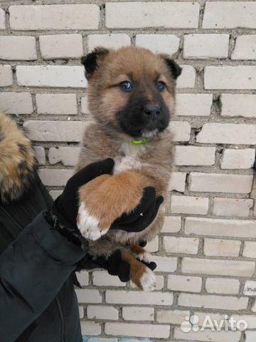 Щенок (девочка. 1,5 месяца) в дар, в добрые руки купить на Зозу.ру - фотография № 2