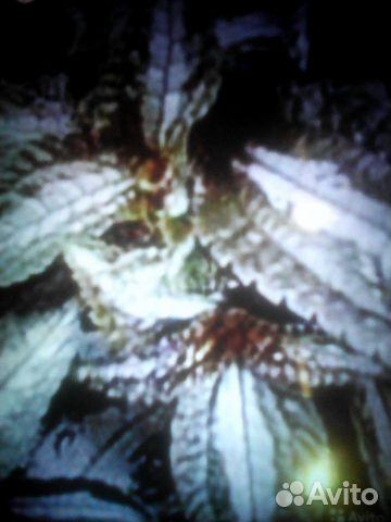 Колеус- экзотика в вашем доме, пилея 89130730125 купить 8