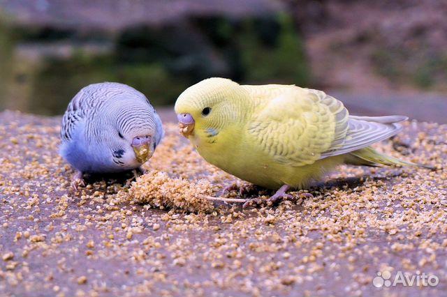 Попугаи купить 4