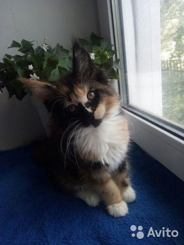 Мейн Кун котята 89170638951 купить 2
