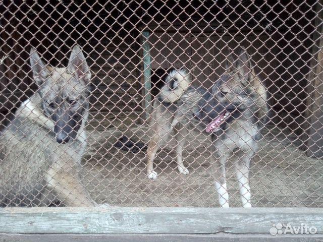 Продаются щенки западно сибирской лайки 89156783151 купить 3