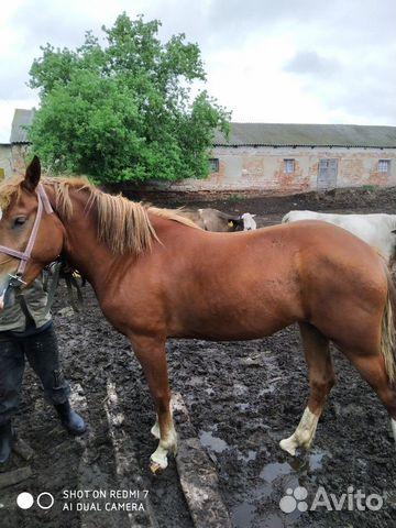 Лошадь 2,2 года  89507594295 купить 4