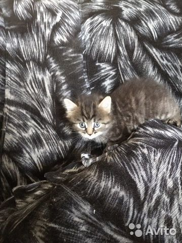 Котята озорнята  89502742399 купить 6