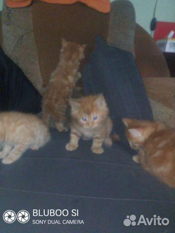 Кошка  89293253492 купить 3