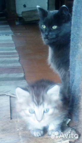 Мама-кошка молодая и сын котенок сибирские  89195513765 купить 2