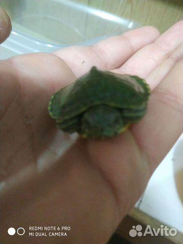 Красноухая черепаха  89898743974 купить 3