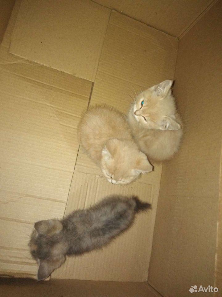 Кошка 89502798580 купить 3