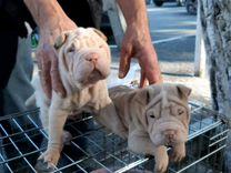Щенки Шарпея — Собаки в Геленджике