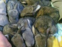 Крольчата серого великана и рекса