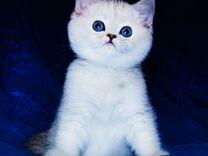 Британские шиншиллы с изумрудными и синими глазами