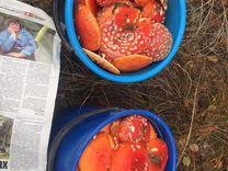 Мухомор Amanita Muscaria — Продукты питания в Краснодаре