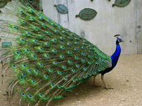 Продам Павлинов Яйца оплодотвореные гусиные, утины — Птицы в Геленджике