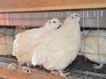 Реализация яиц и мяса перепелов