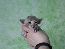 Ориентальные котята