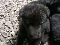 Немецкая овчарка, щенки, 1 месяц. Цена договорная