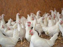 Куры молодки несушки, цыплята