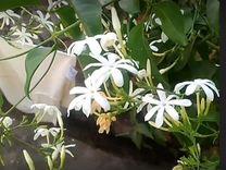 Мимоза стыдливая и другие цветы