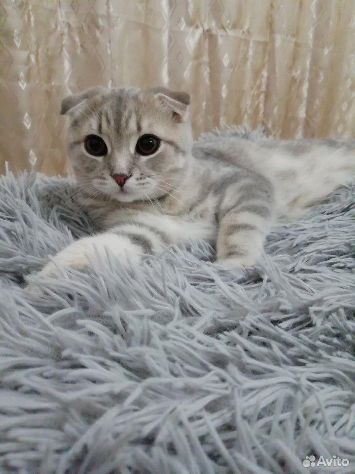 Шотландский кот на вязку  89620488061 купить 2
