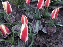 Голландские луковицы тюльпанов — Растения в Саратове