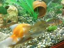 Золотая рыбка кому нужна жалко выбрасывать торг
